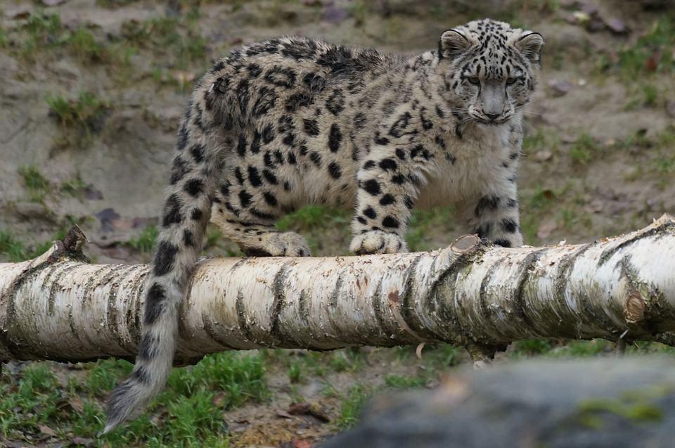 snow-leopard-860247_960_720