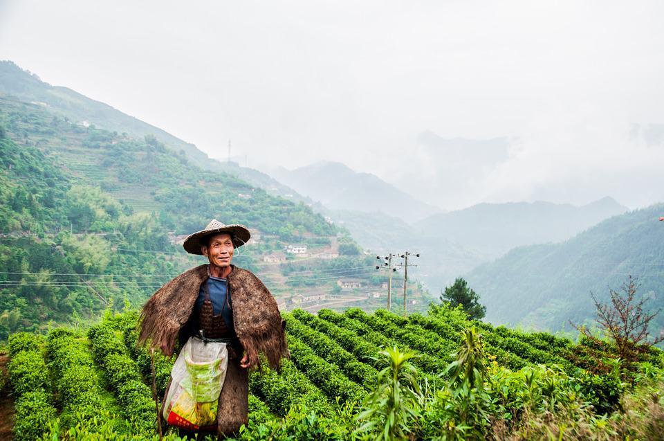 tea-garden-792962_960_720