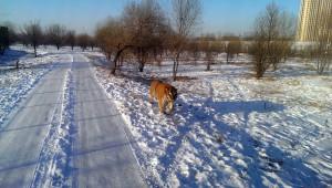 Tiger i en dyrepark nær isfestivalen i Harbin. Foto: Reisetilkina.com