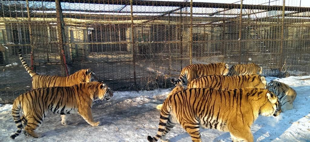 Man kan komme tett på tigerne i Harbin. Foto: Reisetilkina.com