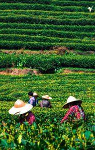 Det jobbes hardt på teplantasjen i Hangzhou.